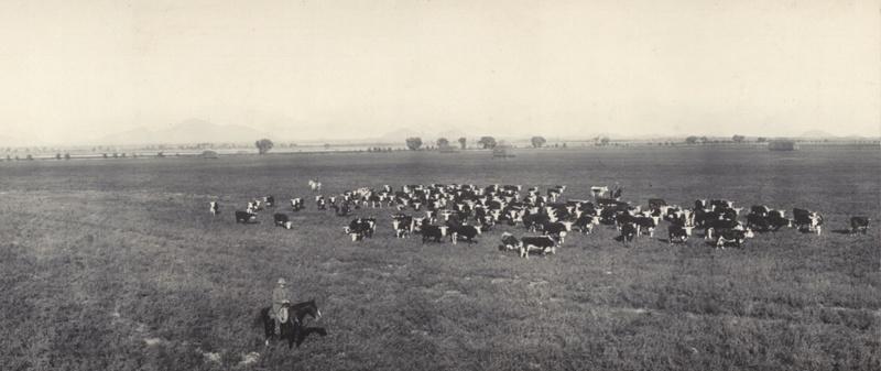 Cattle grazing in Phoenix, 1908